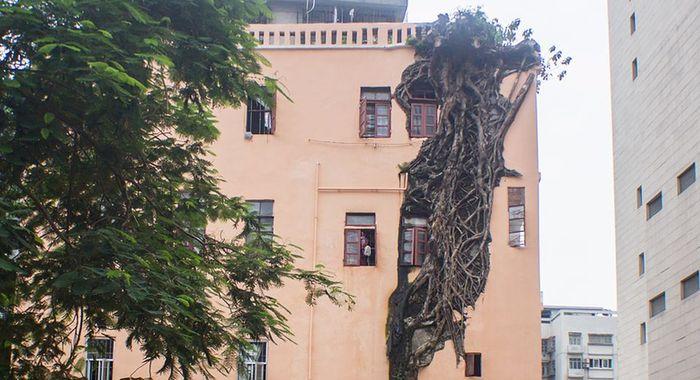 """廣州一株大樹""""穿墻透窗"""" 長在居民樓裏近50年"""
