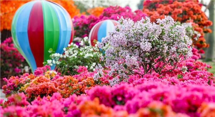 佛山:五色寶巾花 燦爛了整個秋天