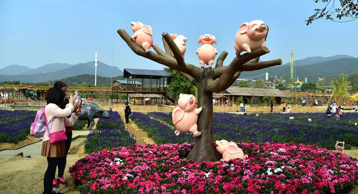 佛山一生態園300頭豬營造春節氣氛