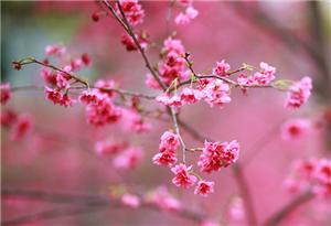 航拍華農櫻花美 滿園芬芳風情濃