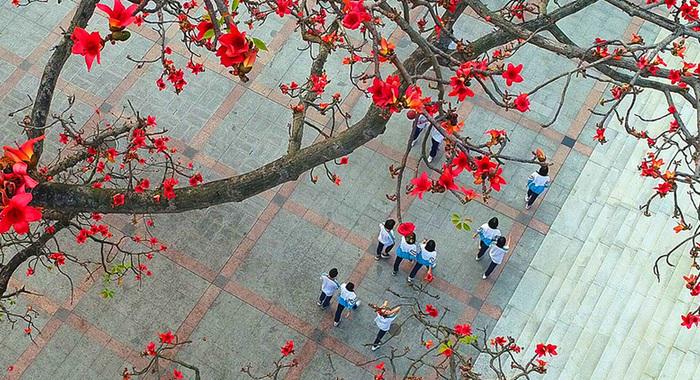 航拍廣東九江:百年紅棉 青春綻放