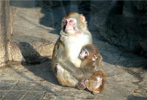 研究發現基因進化導致人類比猴子胖