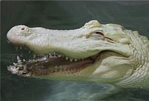 """鱷魚的一些遠古親戚是""""素食者"""""""