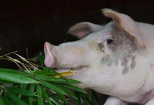 綜合施策促進生豬生産恢復——農業農村部有關負責人談生豬生産